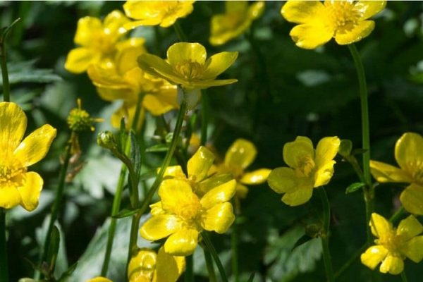 Let's discover the Buttercup flower , how to grow it with care and advice